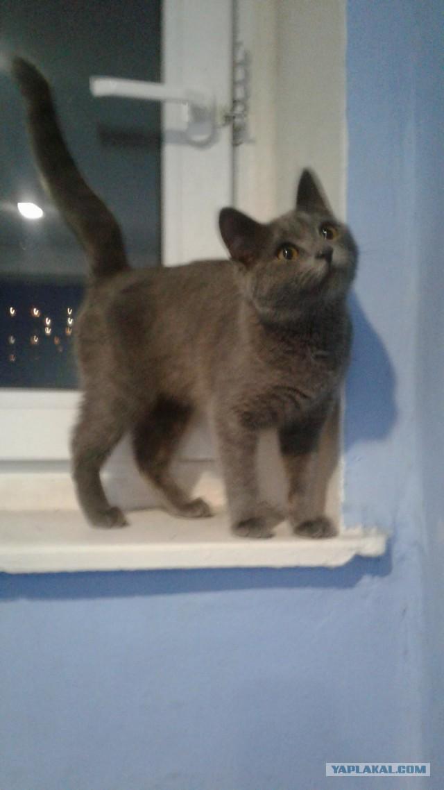 Русско-британская голубая, кошка 6 мес., Москва