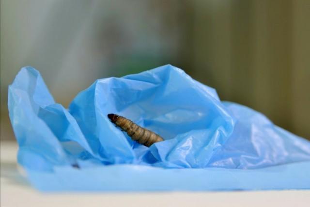 Ученые нашли гусениц, которые едят полиэтиленовые пакеты