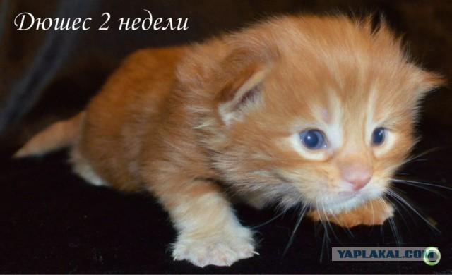 Котята Мейн Кун в Крыму