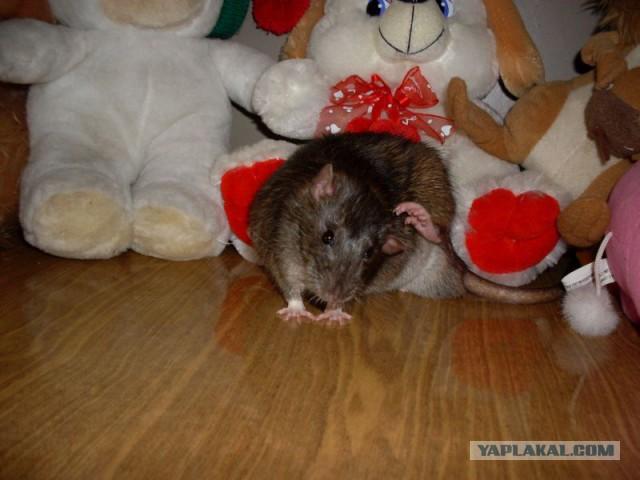Почему крыса лижет руки
