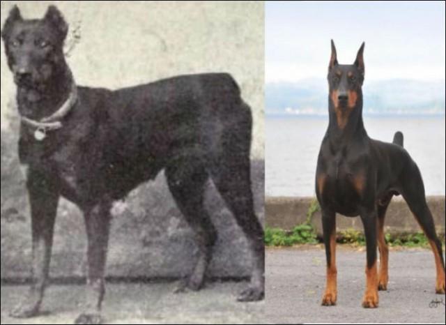 Породы собак 100 лет назад и сегодня.