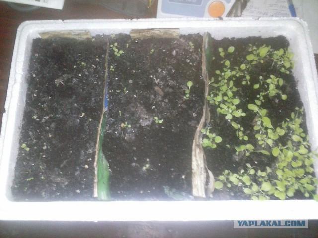 Выращивание курительного табака Ботаничка. ru 12