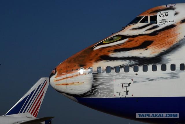 В Аэропорту Внуково гуляет Амурский Тигр