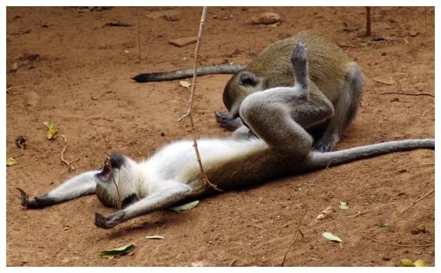 Забудьте об их гиперсексуальности - все человекообразные обезьяны спаривают