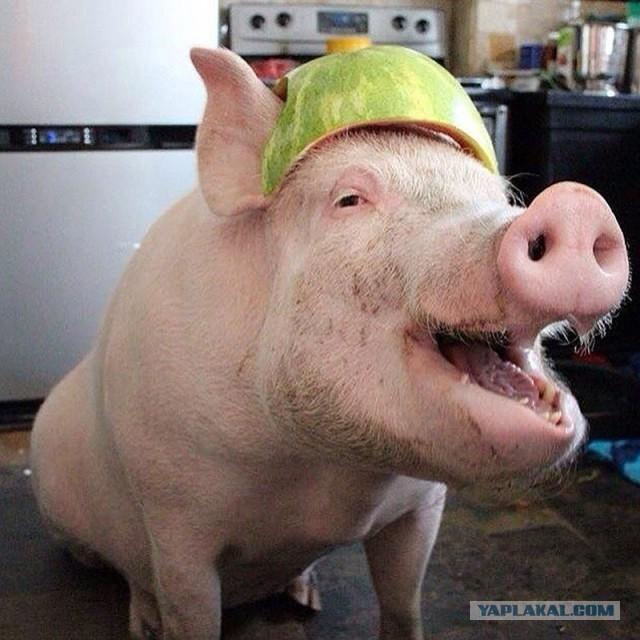 Россия запретила ввоз свиней из Румынии