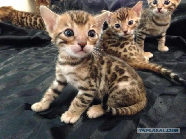 Продам котят бенгалов