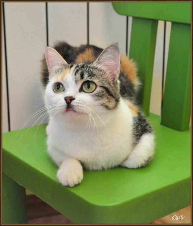 Ищем хозяев для кошки Булочки из Красноярска