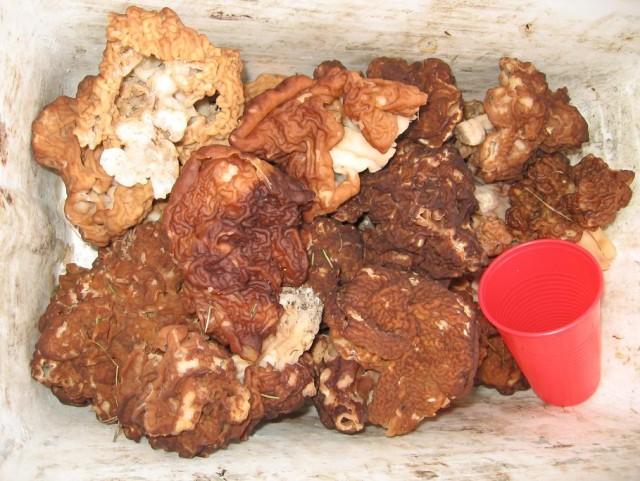 Собираем весенние грибы