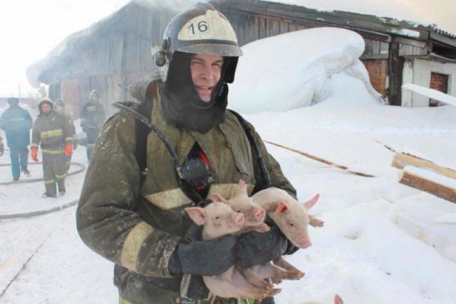 Сотни поросят спасены из огня в томском свинарнике