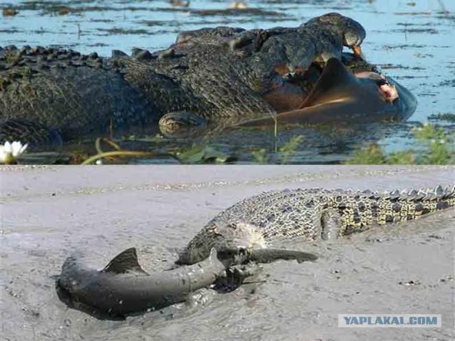 что сильный гребнистый крокодил или большая белая акула многими