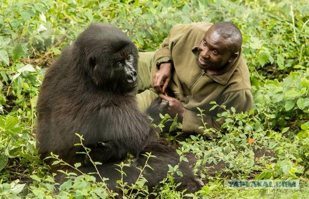 Самка гориллы пизда