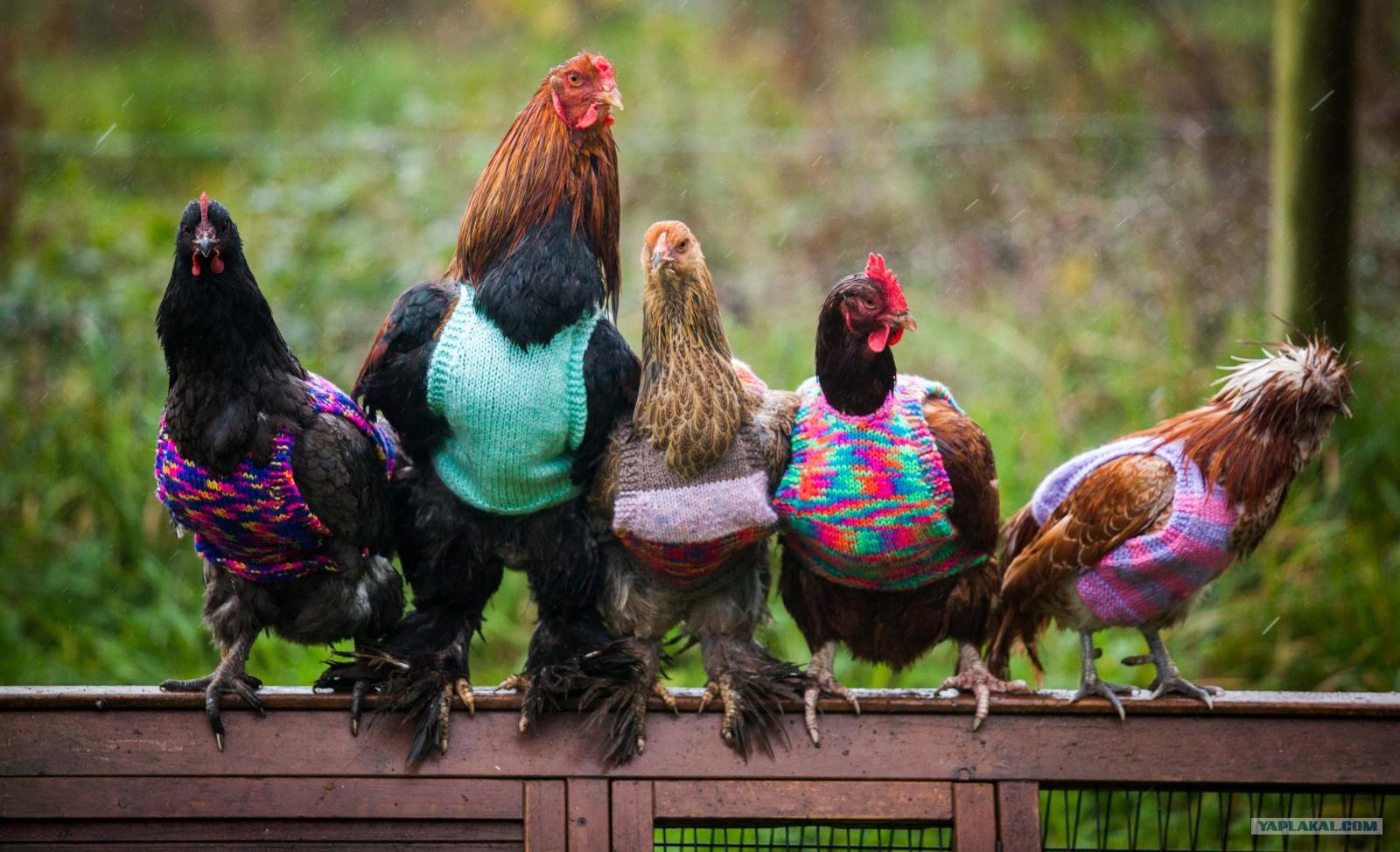 Музыкальными поздравлениями, картинки с курицами прикольные