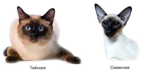 тайские коты
