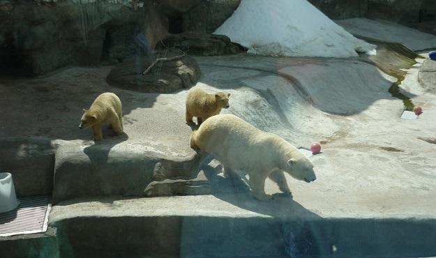 Белый медведь нашел себе игрушку - практически рыцарский шлем