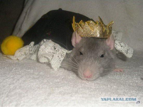 Как воспитать крысиного короля