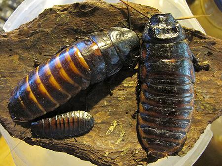 Особая миссия тараканов