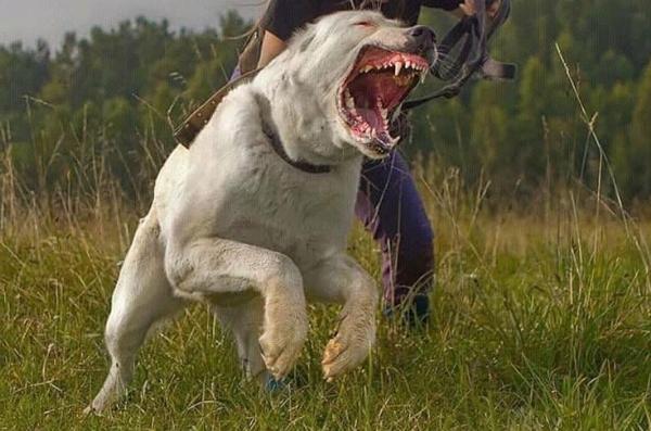 гордое картинки злые собаки волкодавы сотню
