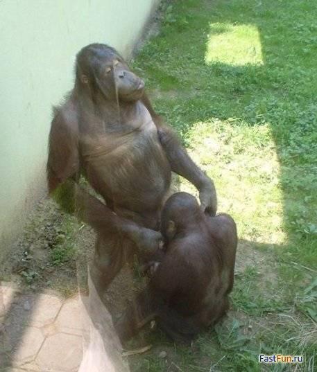 Обезяна занимающаяся оральным сексом
