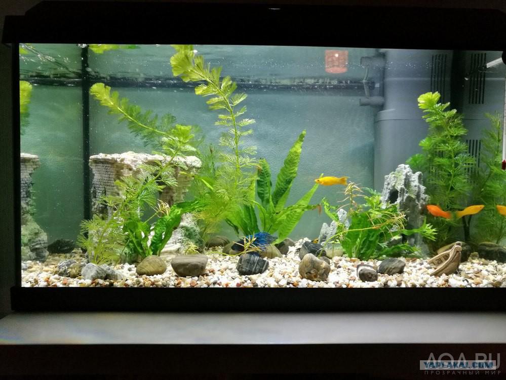 аквариум с моллинезиями фото мало кто признается