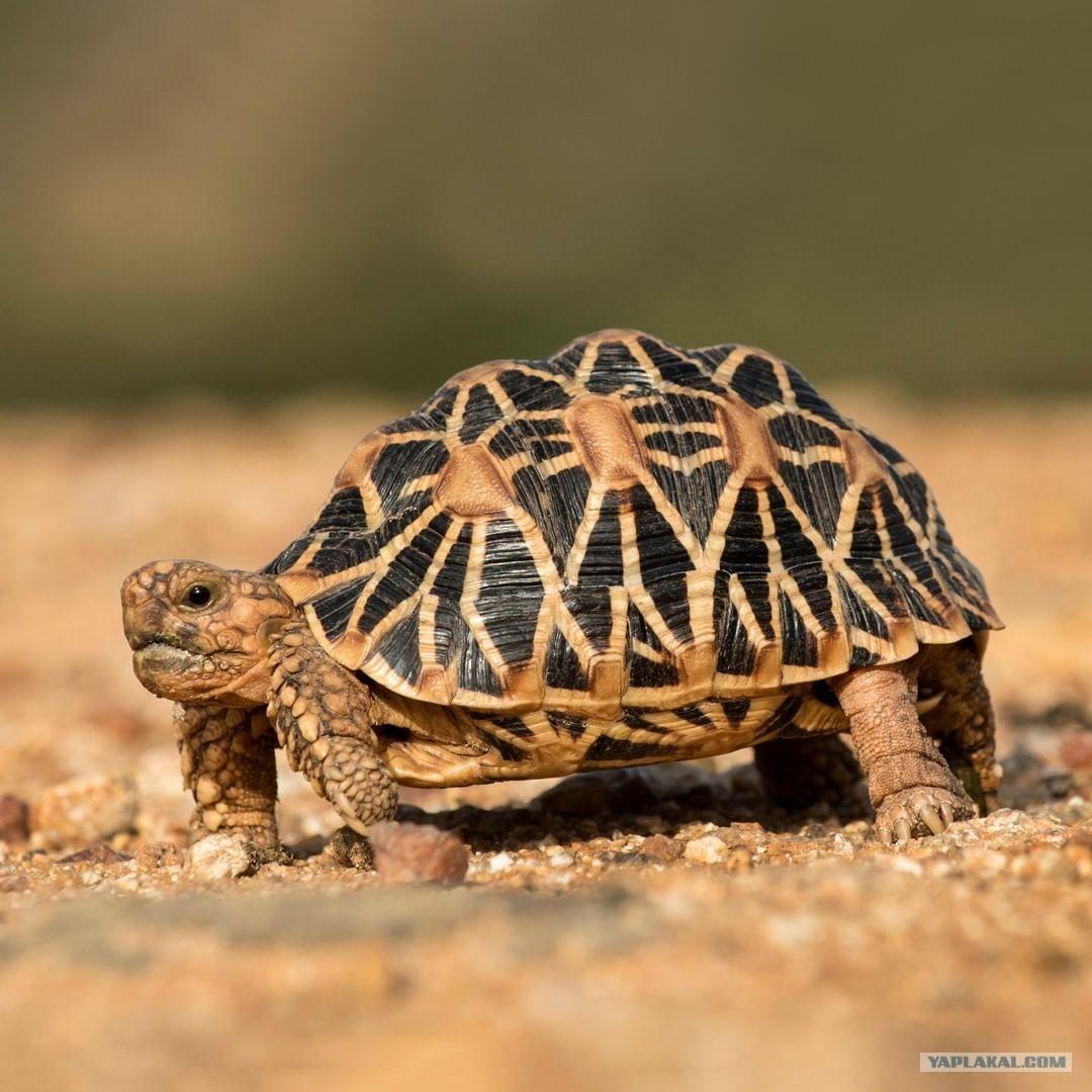 Картинки по запросу Лучистая черепаха защищена специальным законом