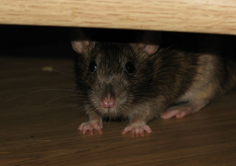 картинка боюсь крыс одессе