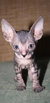 Несчастные бритые котята