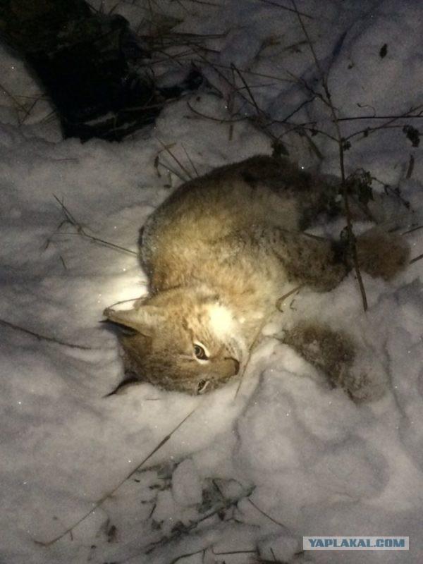 """""""Думали, что большая кошка"""": в Серове спасатели на автовышке сняли с дерева рысь"""