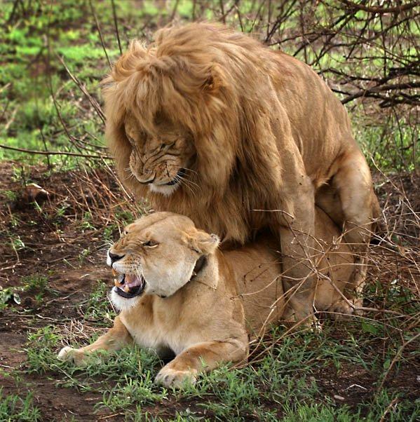 Львы секс