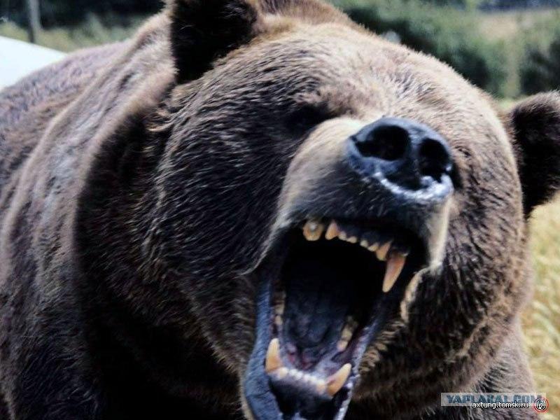 фото медведя оскал