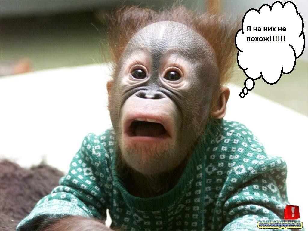 смешные фото шимпанзе