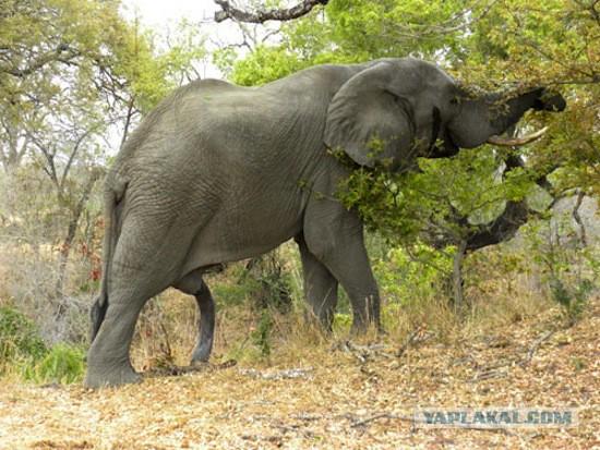 Хуй у слона фото 35-212