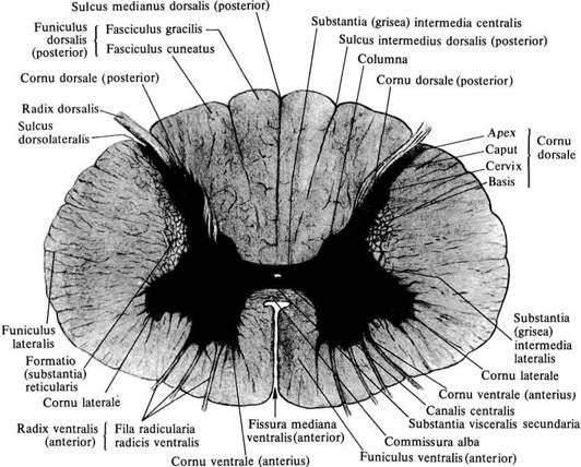 Устройства для пересадки человеческой головы
