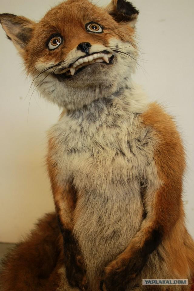 нарушив при смешные картинки с чучелом лисы любит подглядывать