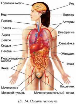 Органы человека расположение в картинках с надписями женские