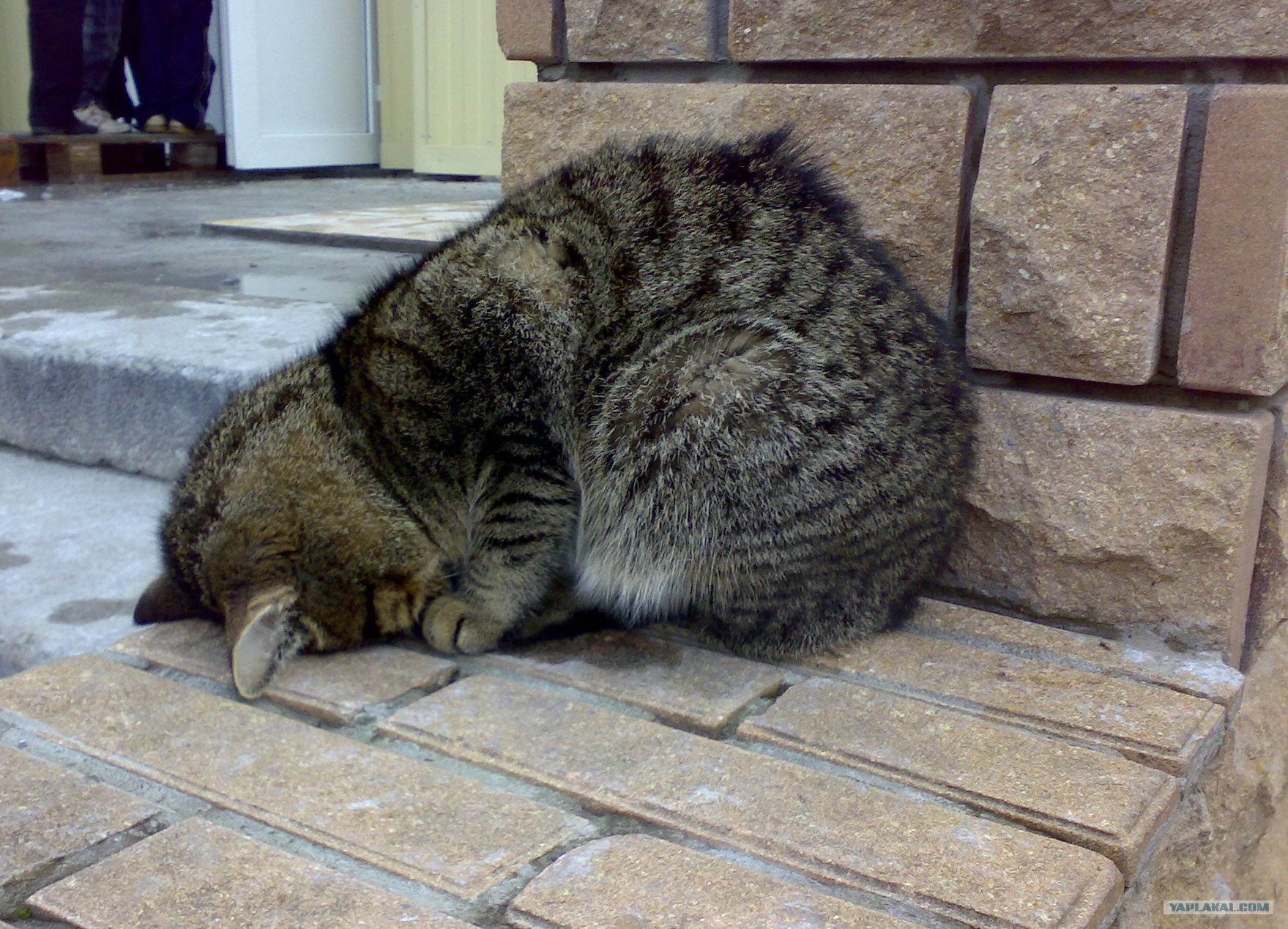 коже картинки котики усталые классическая