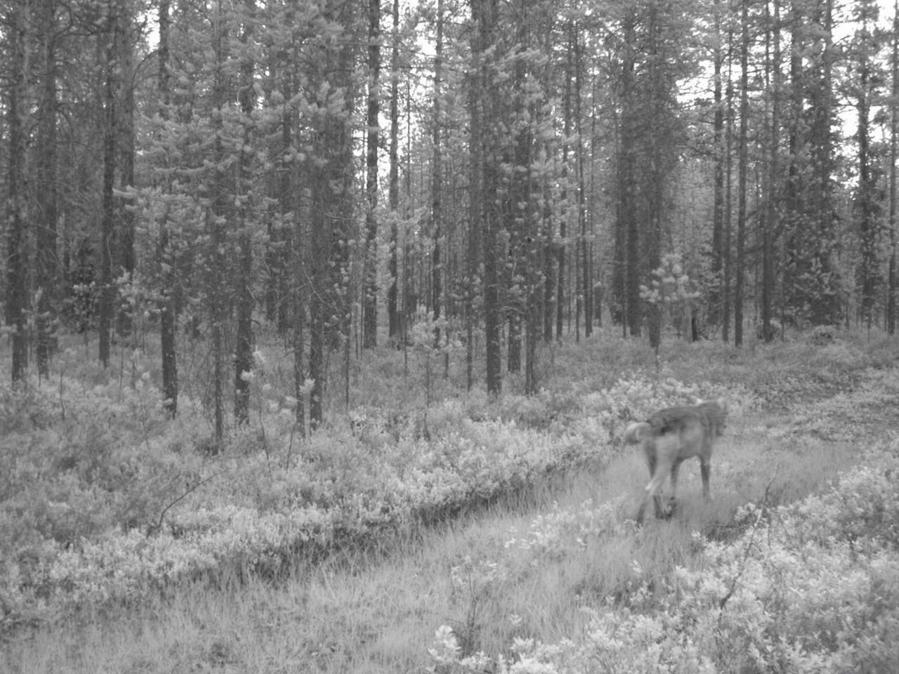 поделитесь своей странные фото с камер ловушек в лесу фотографа является