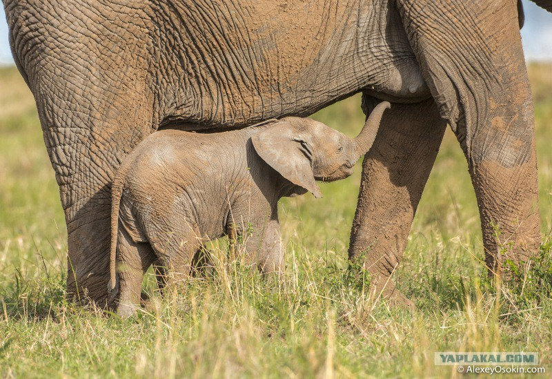 Сколько метров хуй у слона