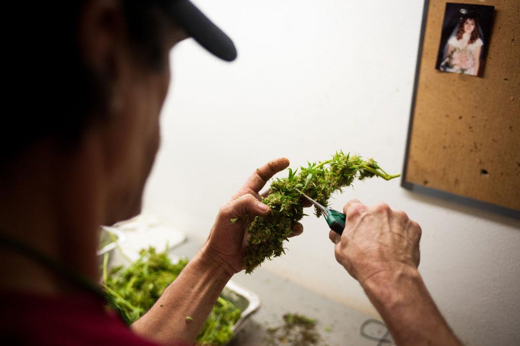 Выращивать легальную коноплю конопля в фотографиях