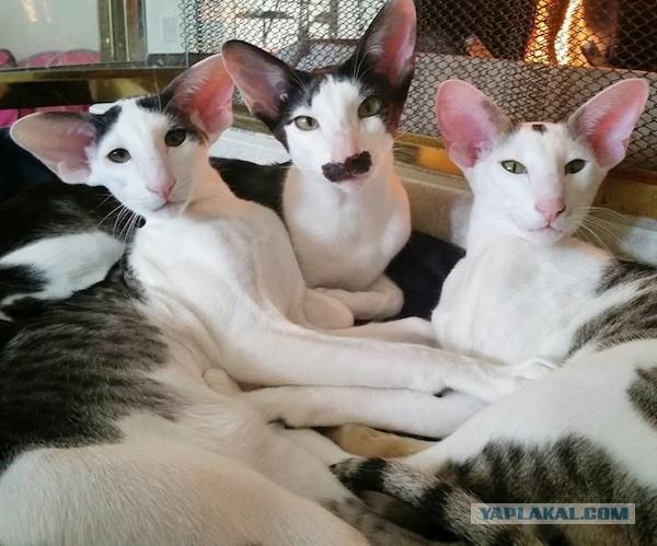 Фото кот грузин и его грузинки
