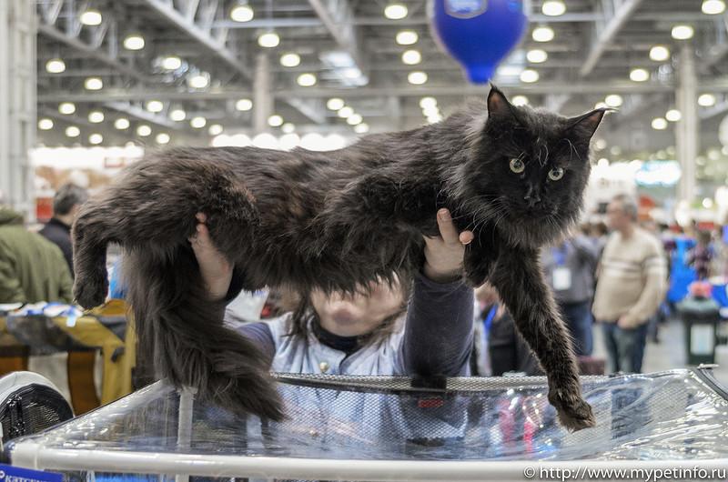 Расписание международных выставок кошек в Москве в 2017 году