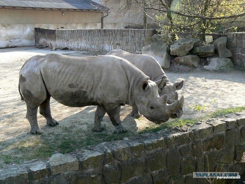 Попка носорога