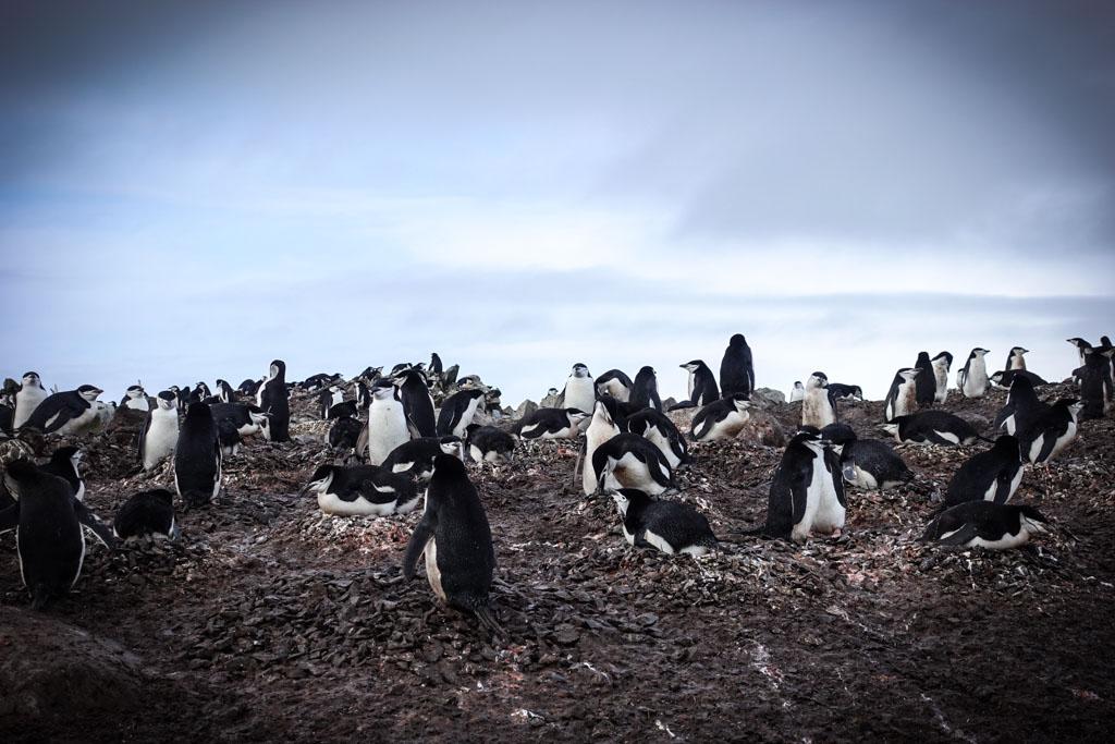 Пингвины ебутся фото