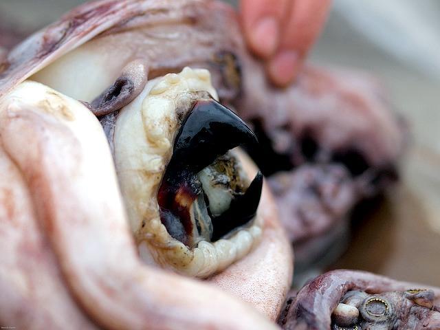 можно клюв осьминога фото его члена достигала