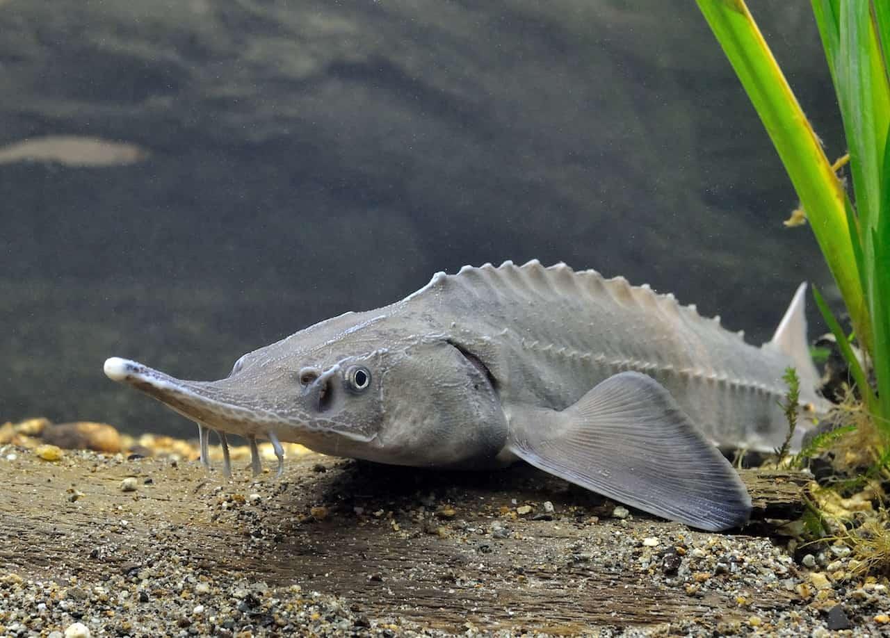 рыба из красной книги украины фото речная