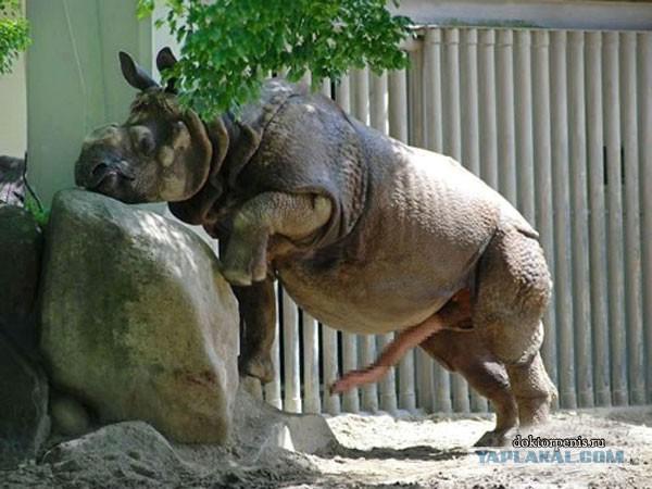 Вирт секс с носорогом