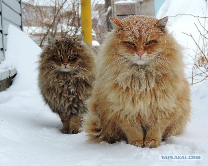 Сибирские коты картинка
