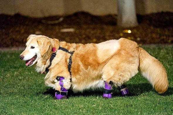 Супруги заплатили 3,5 тысячи долларов, чтобы помочь полностью безногой собаке