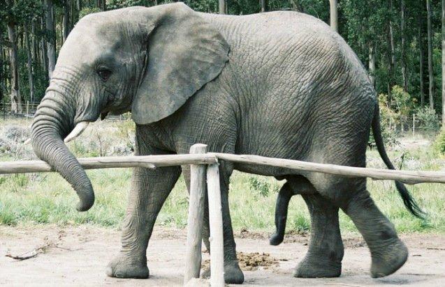 Хуй у слона фото 35-930