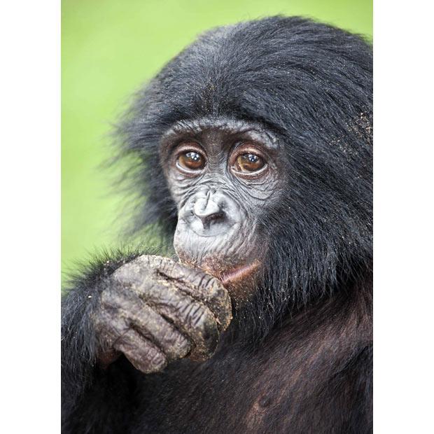 Шимпанзе бонобо занимаются сексом ради удовольствия