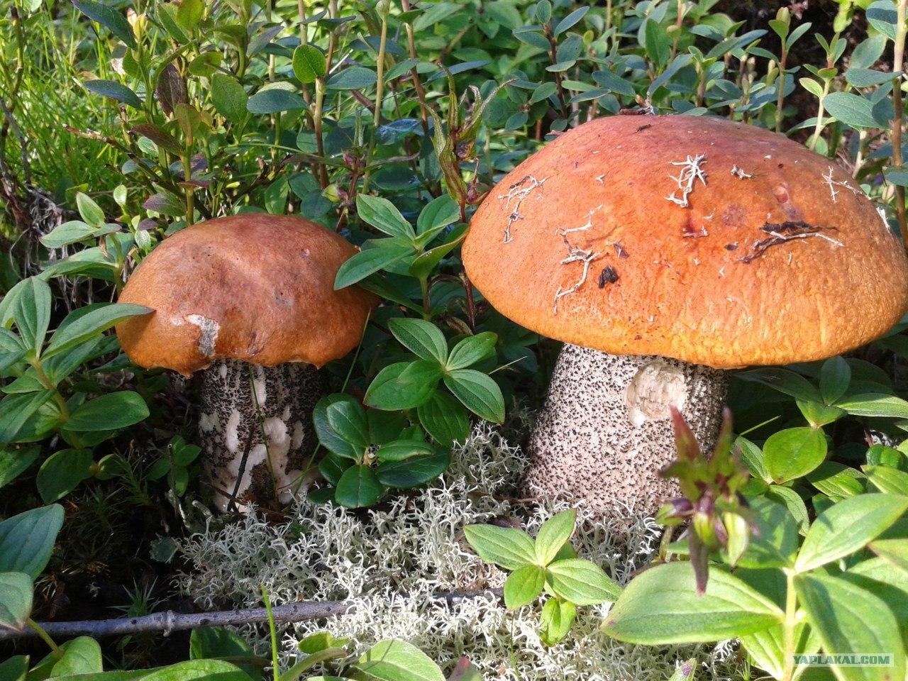 фото грибов с названиями июльский сбор изумляет прозрачной лазурной